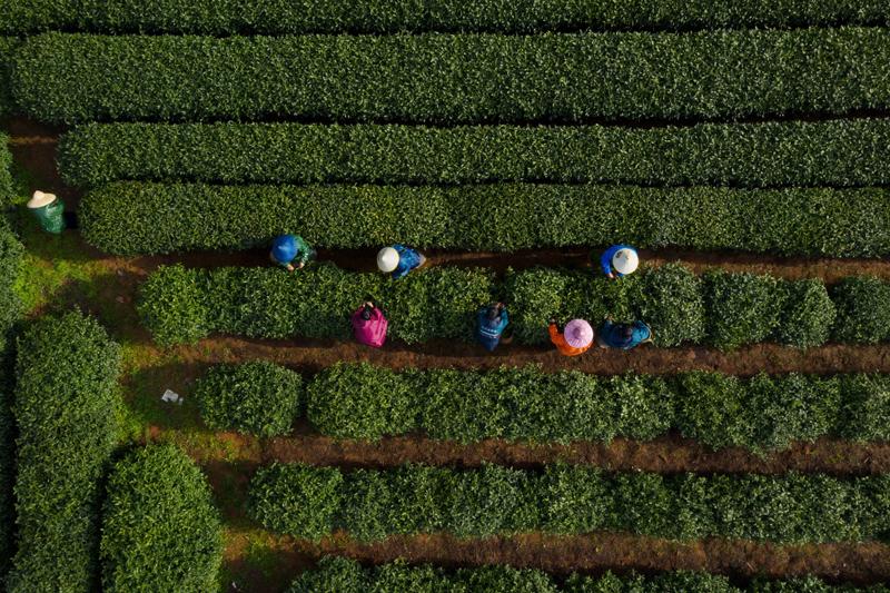 """今年西湖龙井涨势不错,西湖区西湖街道在""""明前""""采茶季之前进行初步摸底,预计西湖景区范围内采茶工、炒茶工的年需求量约为1.1万人。"""