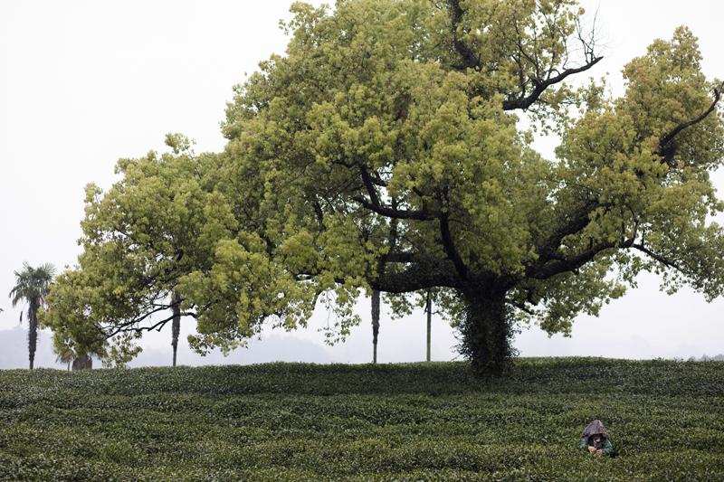 """茅家埠共有232亩茶园,主要茶树品种是龙井43,还有一定规模的""""群体种""""老茶树。"""