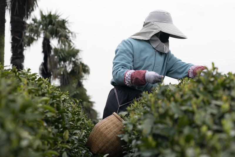 茅家埠村每户人家平均有一亩多茶园,每家茶叶产量差不多8到10斤,往年不愁销路。