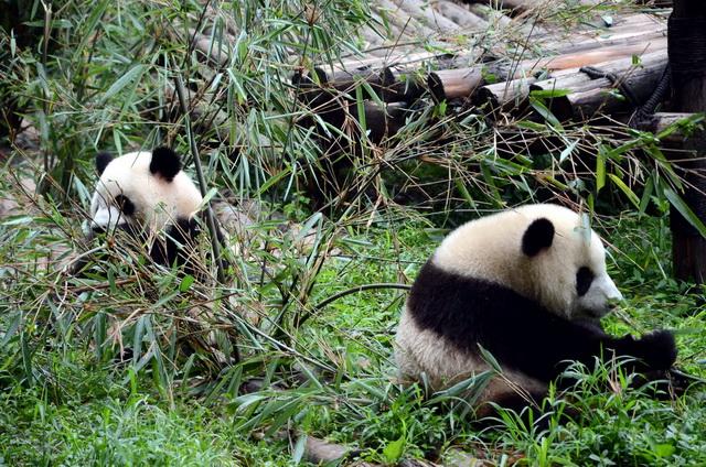 野生动物珍惜既是科学题目,又是经济题目和社会题目。图为成都大熊猫繁育钻研基地。摄影/章轲