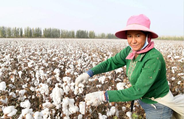 2019年10月25日,在新疆阿瓦提县丰收片区管委会艾买秋克村,拾花工阿依古丽在捡棉花。新华社图。