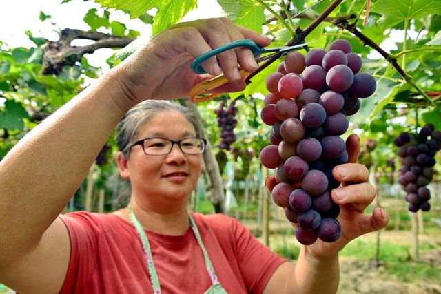 浦江县建勇葡萄种植场张彩红说,使用有机肥料后,葡萄树下的土质变好了,葡萄树的病虫害也减少了。摄影/章轲