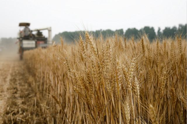5月29日,在江苏省连云港市赣榆区塔山镇宋家岭村,农民驾驶收割机收获小麦。新华社图。