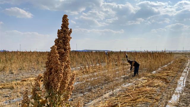 藜麦助力产业扶贫微型样本:在盐碱地上种出的富裕路