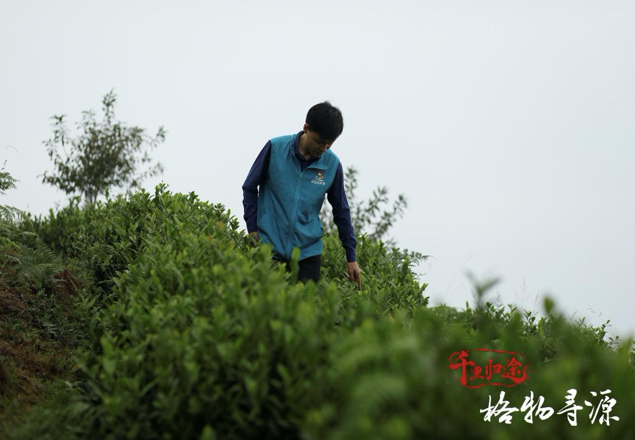 每次到方太乡,驱车绕上海拔九百多米的方山岭,方军都要到茶园里看看茶叶的生长情况。