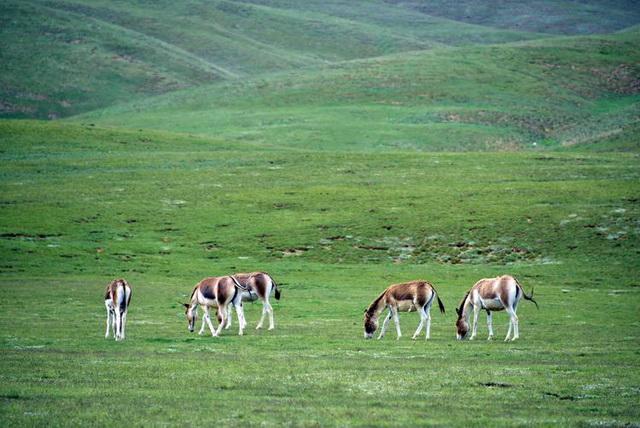 生活在青藏高原的国家优等珍惜动物藏野驴。摄影/章轲