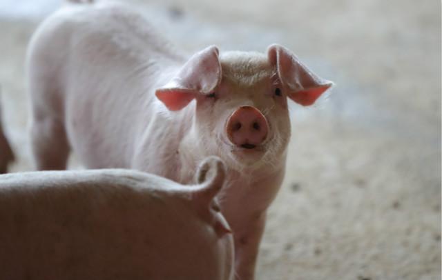 2020年9月24日在开原市庆云堡镇后施家堡村拍摄的立军生猪养殖厂养殖的生猪,该厂的存栏量近千头。新华社图。