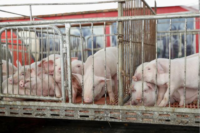 这是4月2日拍摄的重庆市兴旺种猪场准备对外出售的仔猪。新华社图。