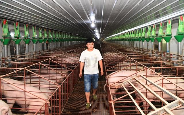 在重庆市万州区一生猪生态养殖基地,工作人员巡视猪场情况。