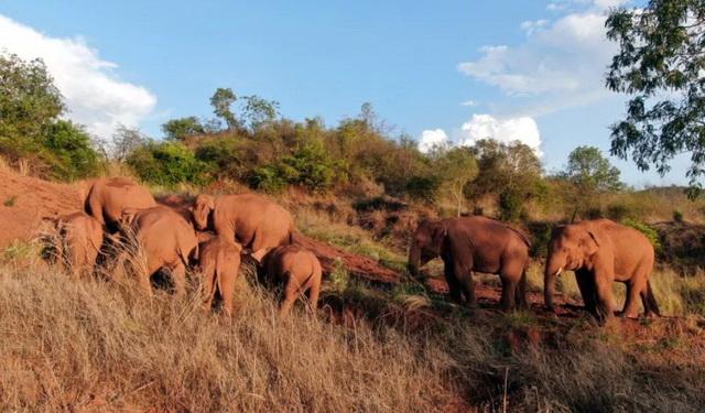 正在迁徙中的亚洲象群。供图云南省森林消防总队