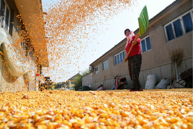 2020年10月19日,青岛莱西市夏格庄镇官庄村村民张淑萍在晾晒玉米。新华社图。