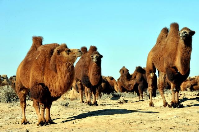阿拉善盟骆驼存栏数量恢复至12万峰。摄影/章轲