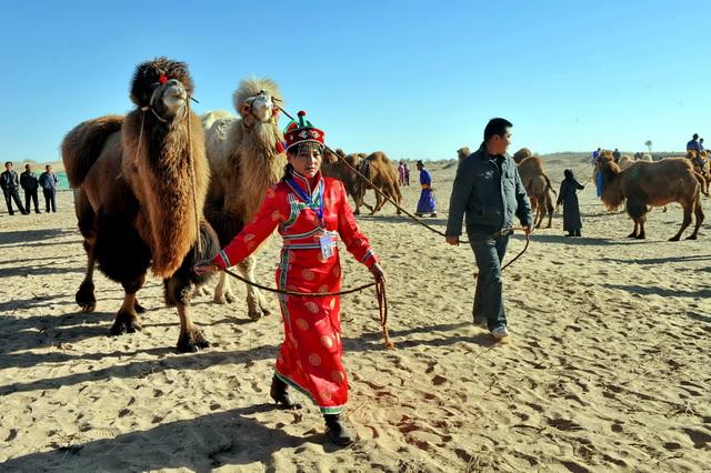 内蒙古阿拉善盟牧区,牧民们牵着骆驼展示。摄影/章轲