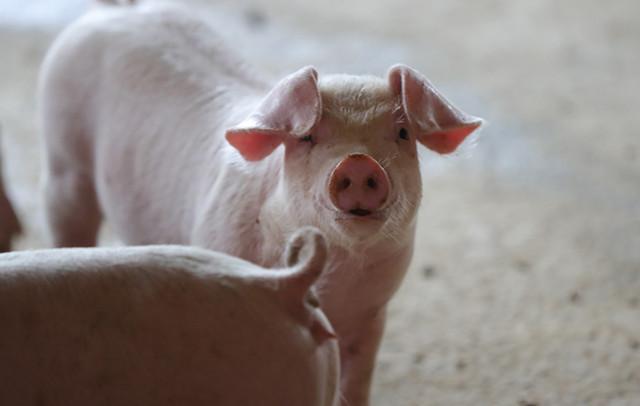 猪价下行这家猪企却大幅盈利,大商所:5月后生猪期货交投活跃